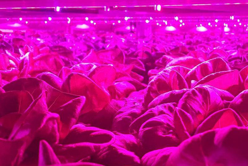 Osram LEDs an integral part of controlled horticulture environment
