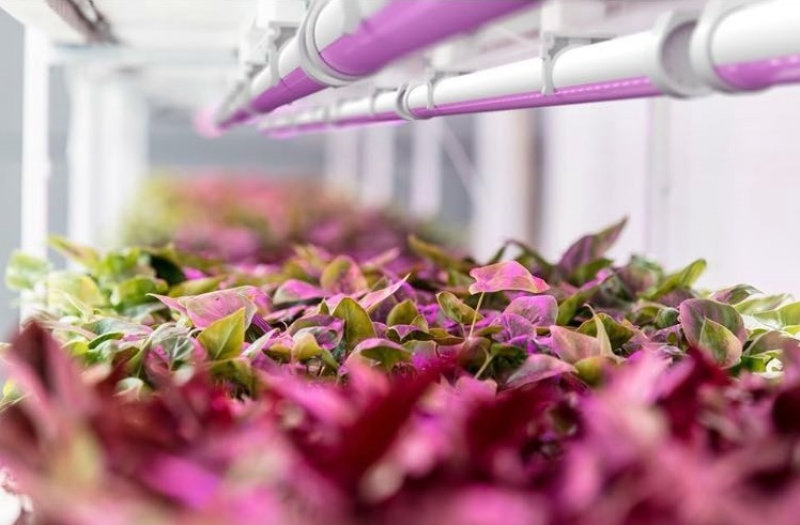 At around 3 µmol/J, BIOLED from TzubaVision is one of the most effective solutions in the horticulture sector